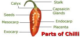 morfologia do fruto Chili_pepper